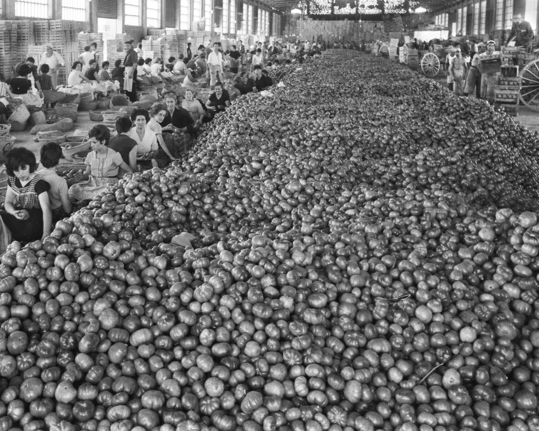 1. Muntó de tomaques a la Cooperativa d'Alginet, 1963.